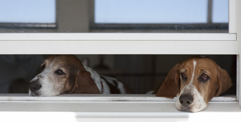 Beagles look out open window without window covering in San Antonio.